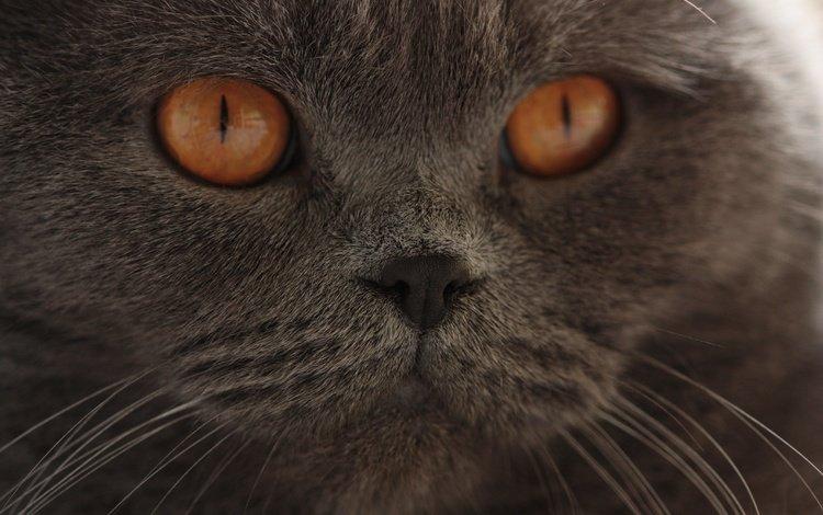глаза, кот, мордочка, усы, кошка, взгляд, британская короткошерстная, eyes, cat, muzzle, mustache, look, british shorthair