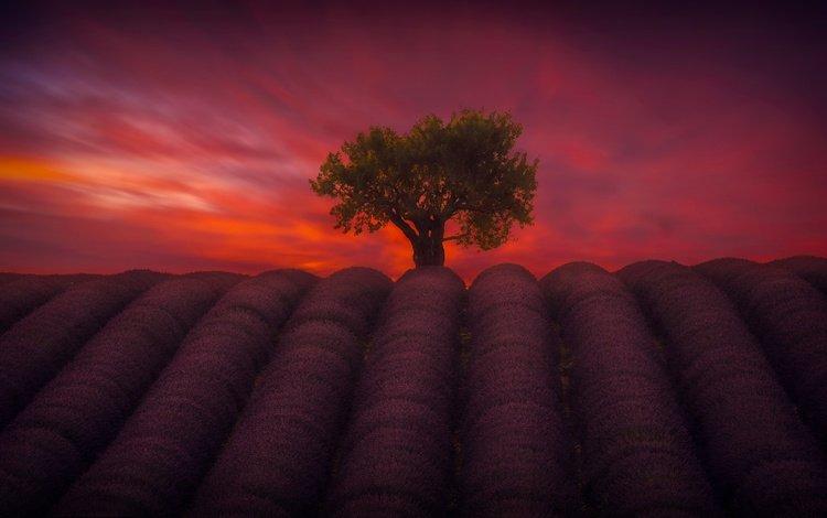 небо, цветы, вечер, дерево, поле, лаванда, the sky, flowers, the evening, tree, field, lavender