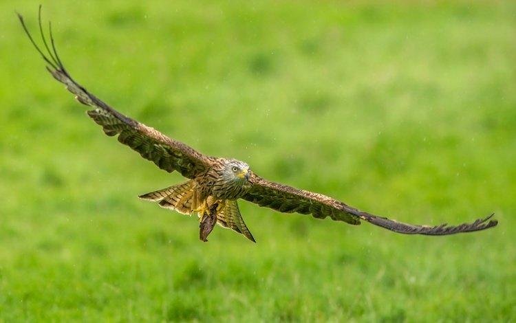 flight, wings, predator, bird, kite, red kite