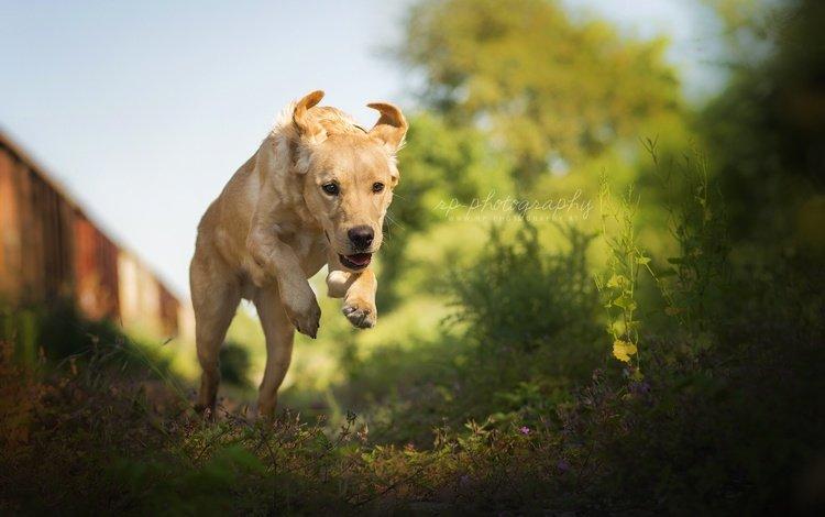 природа, лето, собака, прыжок, лабрадор-ретривер, nature, summer, dog, jump, labrador retriever