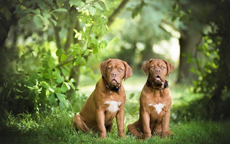 трава, природа, листья, пара, собаки, бордоский дог, две собаки, grass, nature, leaves, pair, dogs, dogue de bordeaux, two dogs