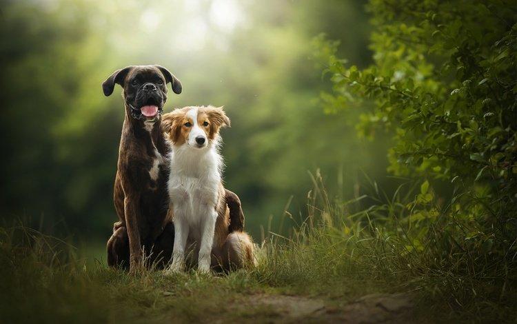 природа, друзья, боксер, в солнечной, бордер-колли, две собаки, tini, nature, friends, boxer, sunny, the border collie, two dogs