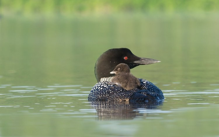 птенец, водоем, птица, клюв, черноклювая гагара, гагара, chick, pond, bird, beak, chernokova loon, loon