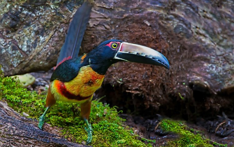 птица, тукан, клюв, ошейниковый арасари, bird, toucan, beak, collared aracari