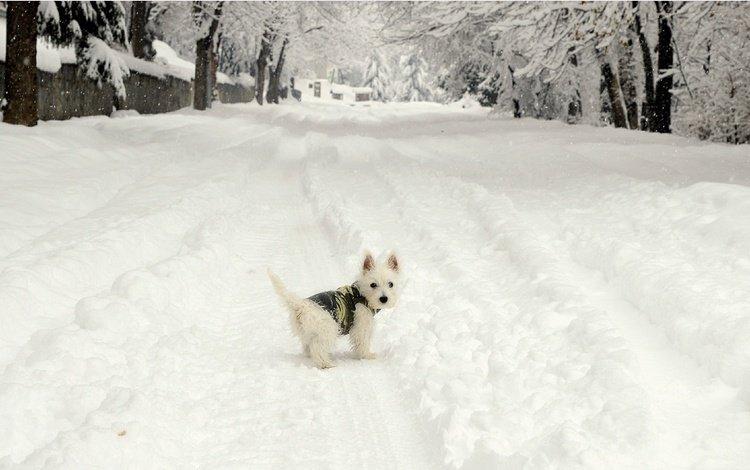 снег, зима, мордочка, взгляд, собака, щенок, собачка, вест-хайленд-уайт-терьер, snow, winter, muzzle, look, dog, puppy, the west highland white terrier