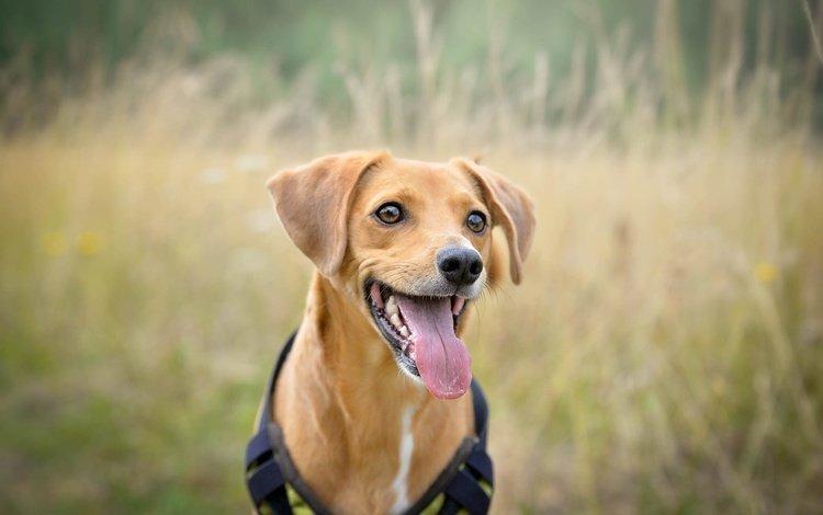 мордочка, взгляд, собака, рыжая, язык, родезийский риджбек, muzzle, look, dog, red, language, rhodesian ridgeback