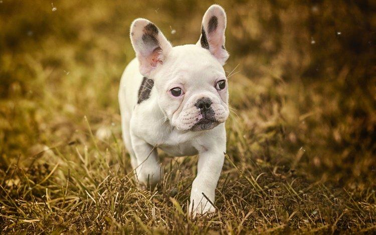 трава, мордочка, взгляд, собака, щенок, бульдог, французский бульдог, grass, muzzle, look, dog, puppy, bulldog, french bulldog