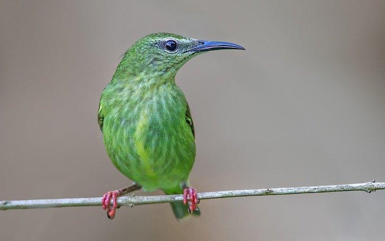 ветка, птица, клюв, бирюзовая танагра-медосос, branch, bird, beak, turquoise tanager-honeyeater