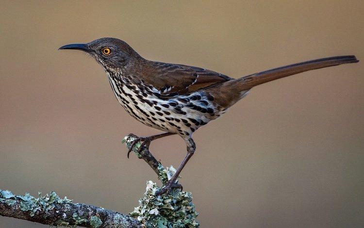 ветка, птица, клюв, хвост, пересмешник, кривоклювый пересмешник, branch, bird, beak, tail, mockingbird, krivohlavy mockingbird