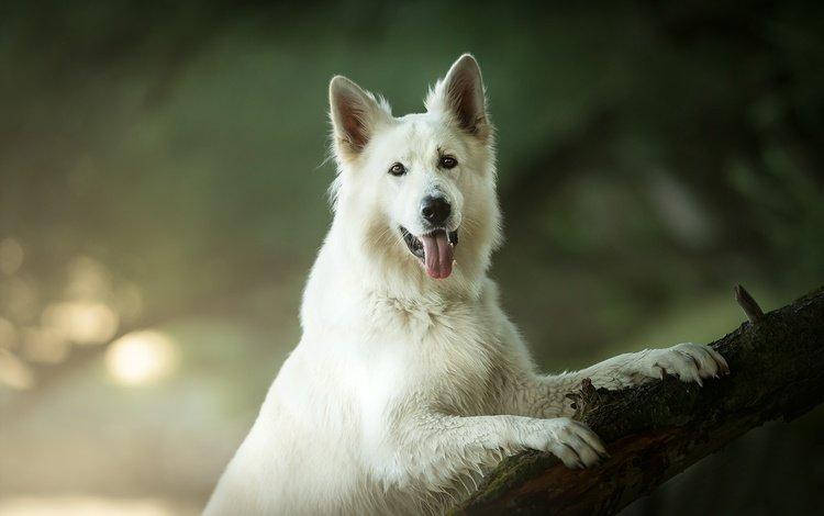 взгляд, собака, язык, боке, белая швейцарская овчарка, look, dog, language, bokeh, the white swiss shepherd dog