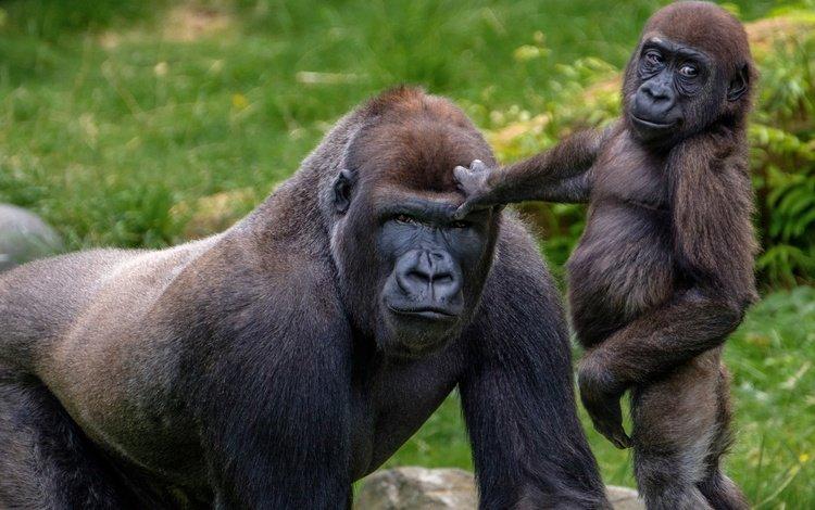 зоопарк, детеныш, горилла, приматы, обезьяны, zoo, cub, gorilla, primates, monkey