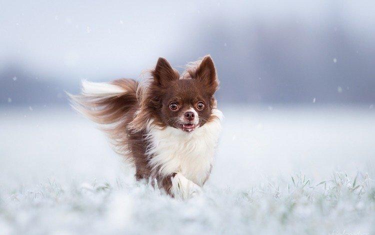 зима, собака, чихуахуа, winter, dog, chihuahua