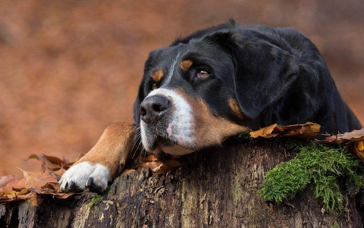 глаза, морда, взгляд, собака, швейцарская овчарка, большая швейцарская овчарка, eyes, face, look, dog, swiss shepherd dog, a large swiss shepherd dog