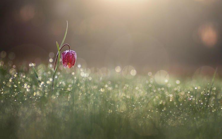 grass, flower, drops, grouse chess, donlope 01, donlope