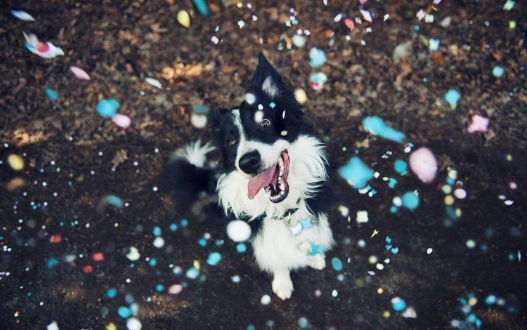 мордочка, взгляд, собака, язык, бордер-колли, конфетти, muzzle, look, dog, language, the border collie, confetti