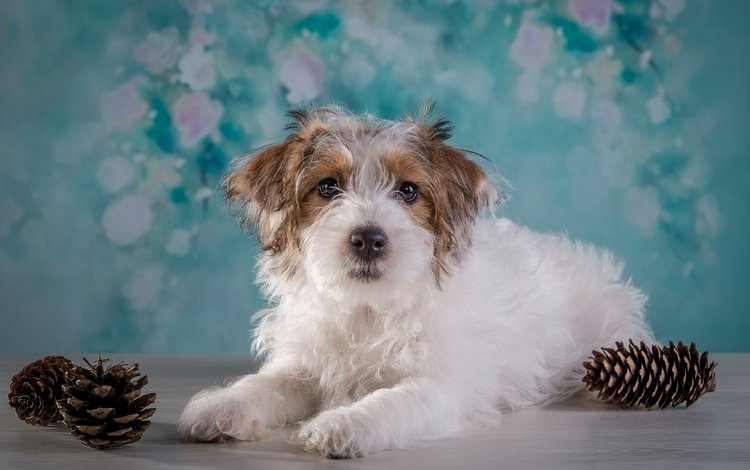 мордочка, взгляд, собака, шишки, терьер, muzzle, look, dog, bumps, terrier