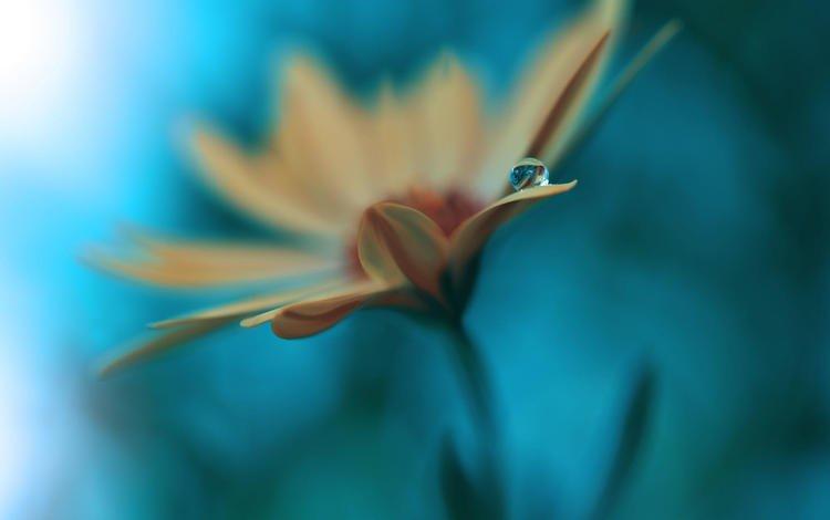 цветок, капля, лепестки, размытость, гербера, juliana nan, flower, drop, petals, blur, gerbera