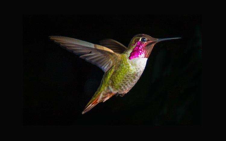 полет, крылья, клюв, черный фон, перья, колибри, flight, wings, beak, black background, feathers, hummingbird