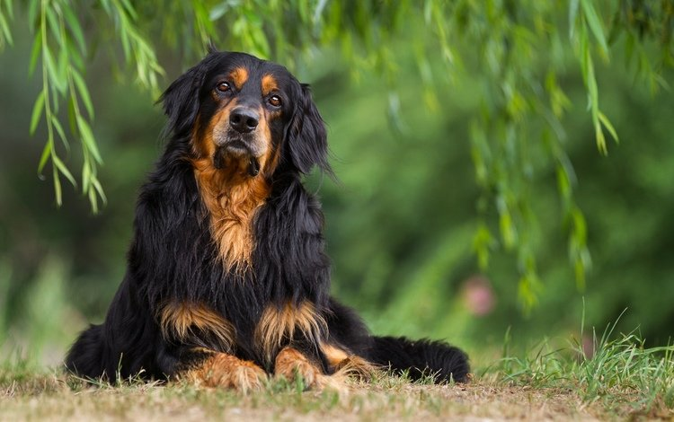 grass, greens, muzzle, branches, look, dog, setter, the gordon setter