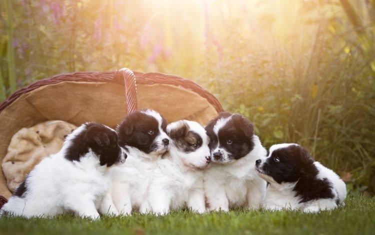 basket, puppies, dogs, birgit chytracek