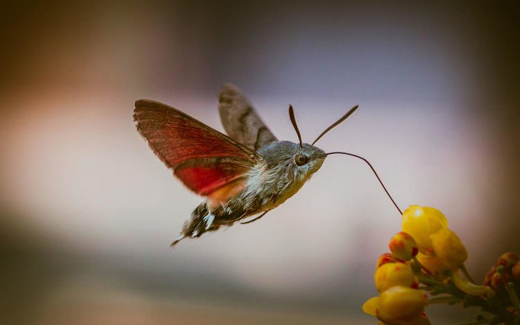 flowers, insect, butterfly, wings, blur, hyles, imot tomi
