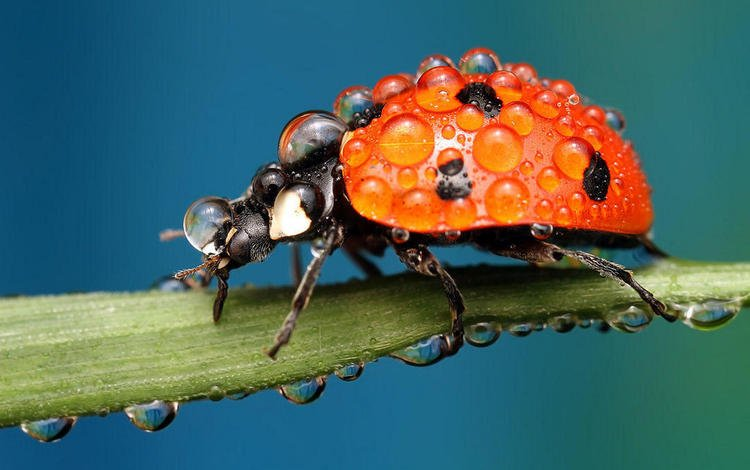 beetle, insect, drops, ladybug, plant, a blade of grass, ondrej pakan