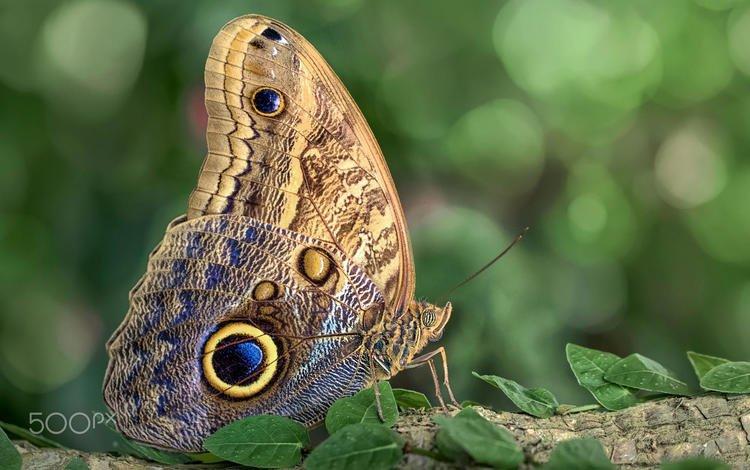 leaves, insect, butterfly, wings, blur, kaligo, mustafa ozturk, the owl, the owl butterfly