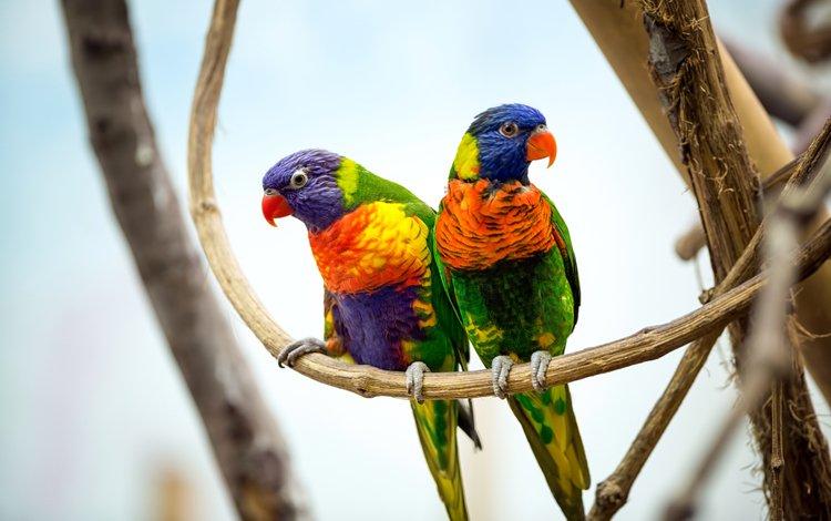 branches, birds, beak, pair, feathers, parrots, multicolor lorikeet