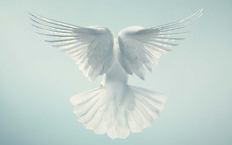 крылья, птица, перья, голубь, wings, bird, feathers, dove