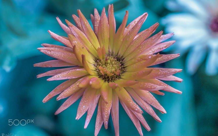 цветок, роса, лепестки, размытость, розовый, георгин, vinny rojas, flower, rosa, petals, blur, pink, dahlia