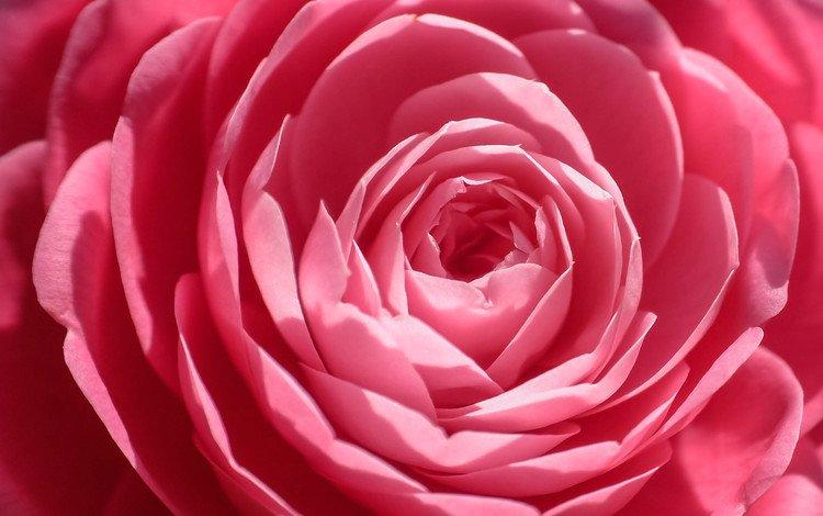 цветок, роза, лепестки, крупным планом, flower, rose, petals, closeup