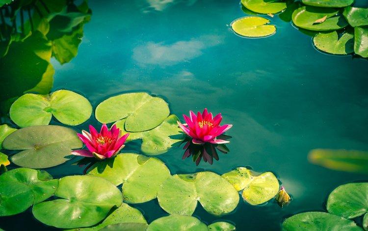 цветы, вода, листья, лепестки, кувшинки, нимфея, водяные лилии, flowers, water, leaves, petals, water lilies, nymphaeum