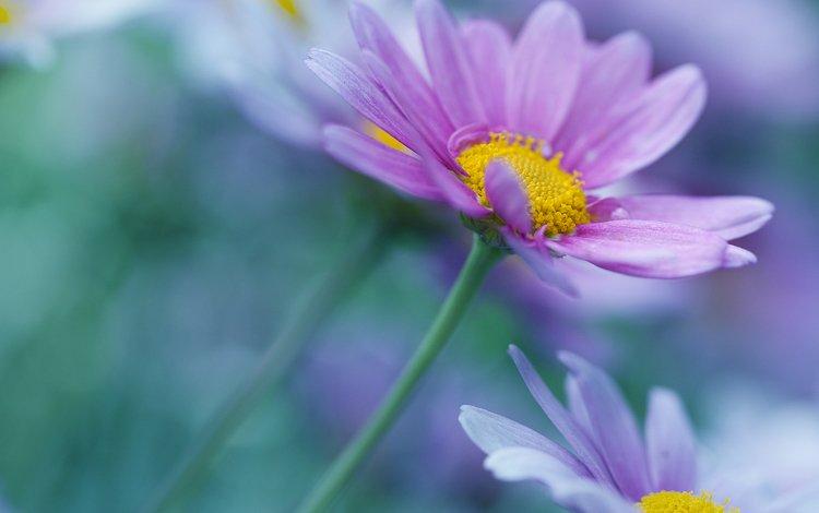 flowers, petals, blur, chamomile, stems