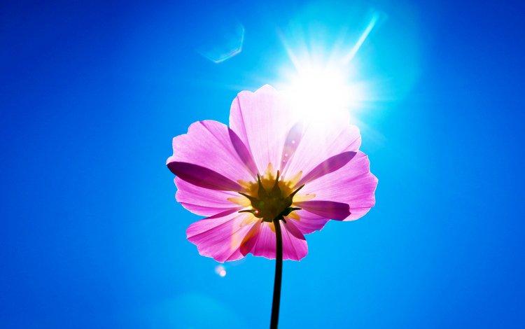 небо, цветок, лепестки, стебель, космея, солнечный день, the sky, flower, petals, stem, kosmeya, sunny day