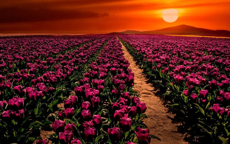 flowers, the sun, sunset, field, spring, tulips, turkey, purple, konya, çumra