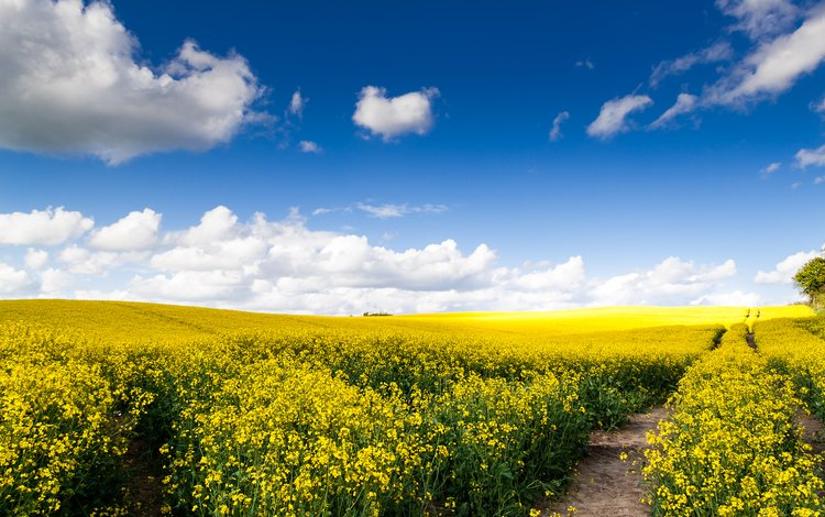 the sky, clouds, field, horizon, path, germany, sunny day, yellow flowers