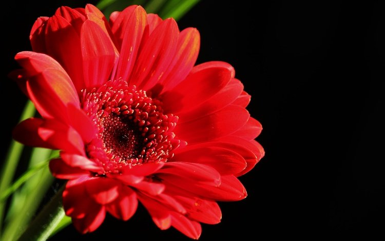 flower, petals, red, black background, gerbera