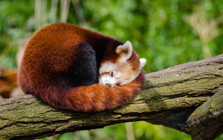 tree, panda, sleep, trunk, red panda