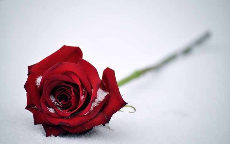 snow, flower, rose, petals, red