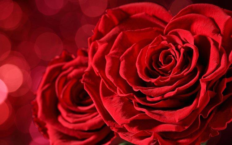 цветы, розы, лепестки, красные, flowers, roses, petals, red