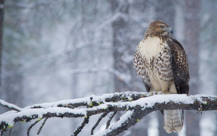 snow, forest, winter, branches, bird, beak, feathers, hawk