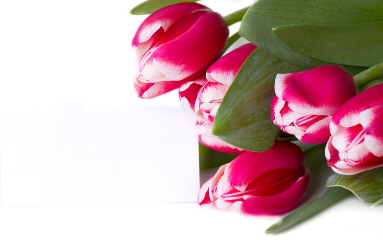 flowers, buds, bouquet, tulips, white background