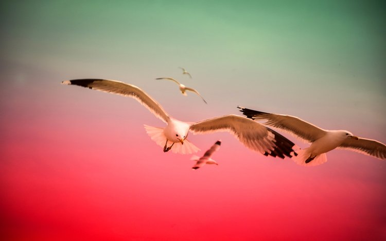 flight, wings, birds, beak, seagulls