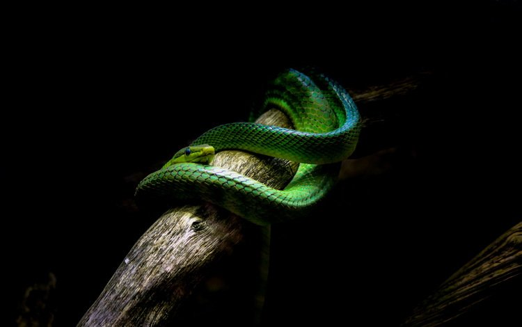 змея, черный фон, ствол, рептилия, snake, black background, trunk, reptile