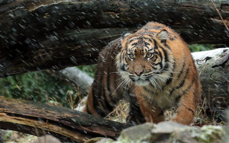tiger, face, look, predator, wild cat, sumatran