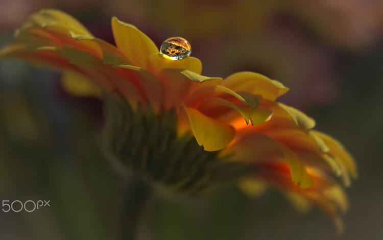 macro, flower, drop, petals, calendula, aylin in the dropland