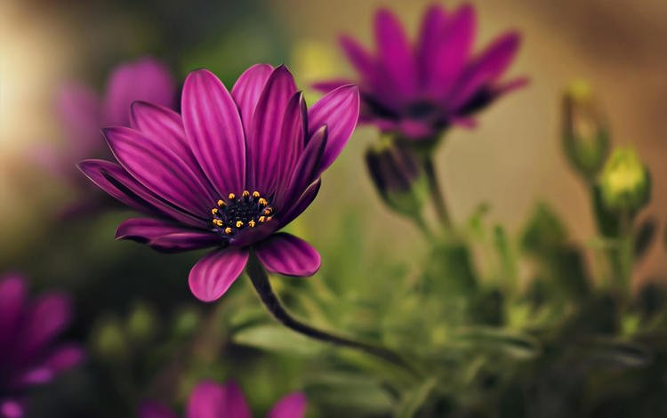 flowers, petals, blur, dina telhami, osteospermum