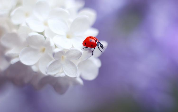 flowering, insect, ladybug, spring, lilac, elena andreeva