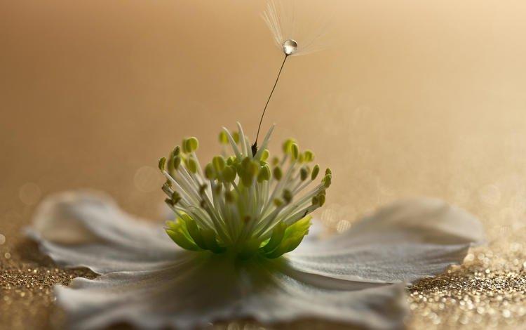 macro, flower, drop, petals, fluff, anemone, johannes dörrstock