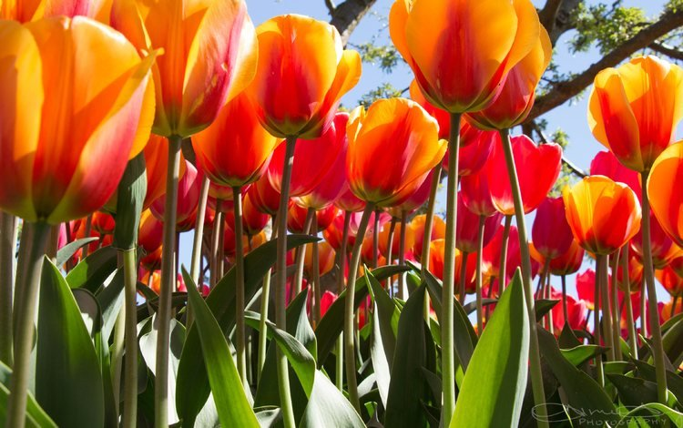 цветы, бутоны, листья, лепестки, весна, тюльпаны, стебли, flowers, buds, leaves, petals, spring, tulips, stems